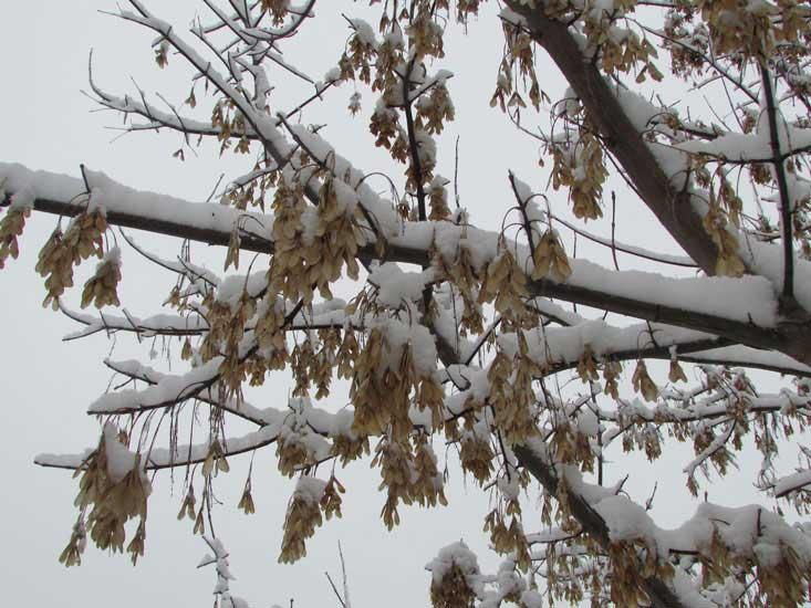 Клен в снегу.