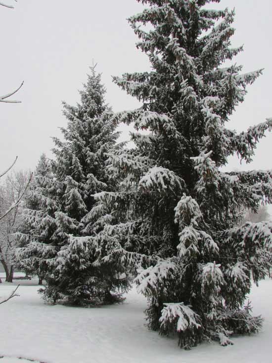Деревья ели в снегу.