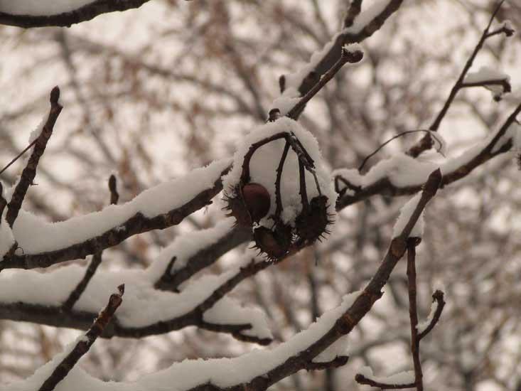 Каштаны в снегу.