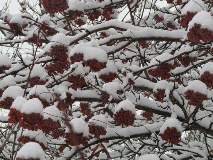 Рябина в снегу.