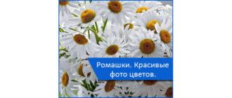 0miniatyura-romashki-krasivye-foto-tsvetov