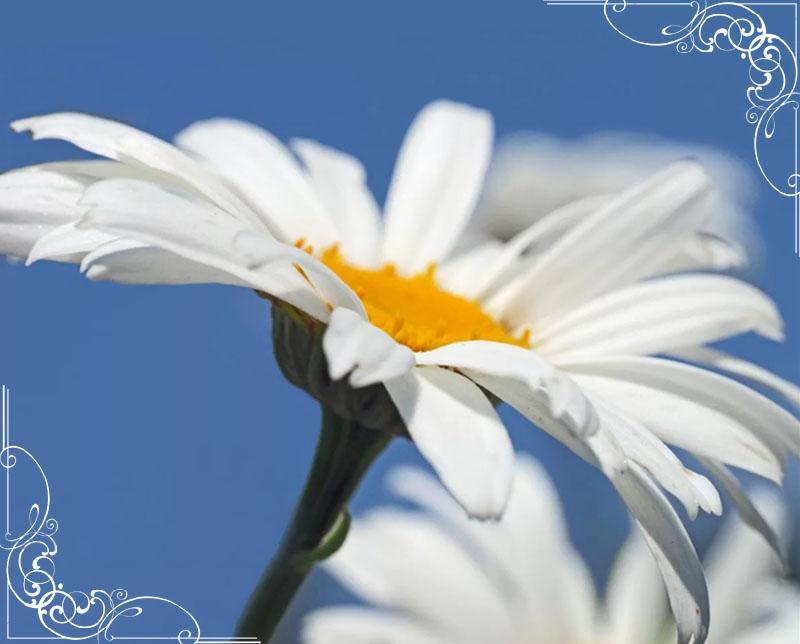 10-romashki-krasivye-foto-tsvetov